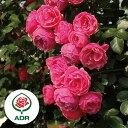 バラの苗/つるバラ:ポンポネッラ新苗