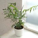 観葉植物/テーブルヤシ:4号鉢植え