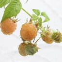 木いちご キイチゴ ラズベリー ファール ゴールド