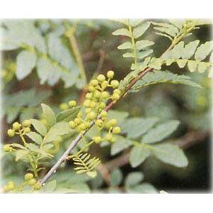 花木 庭木の苗/山椒(サンショウ):ブドウ山椒4〜5号ポット