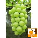 果樹の苗/ブドウ:シャインマスカット挿木苗4〜5号ポット