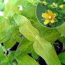 花木 庭木の苗/ヒペリカム:サマーゴールド3号ポット