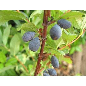 果樹の苗/ハスカップ4〜5号ポット