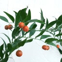 花木 庭木の苗/イタリアンルスカス(ナギイカダの仲間)5号ポット