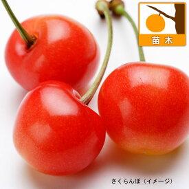 果樹の苗/サクランボ:たかさご(高砂)接木苗4〜5号ポット