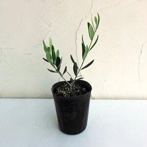 果樹の苗/オリーブ:フラントイオ3〜3.5号ポット