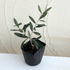果樹の苗/オリーブ:パラゴン 3.5号ポット