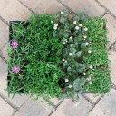 草花の苗/おためし4種12株セット:乾燥に強い日なたのグランドカバー植物1
