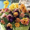 草花の苗/パンジー:ムーランフリルバレリンルージュ3.5号ポット2株セット