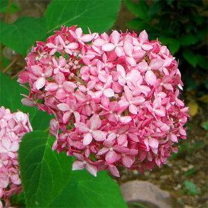 花木 庭木の苗/アジサイ:アナベルピンク3.5号ポット5株セット