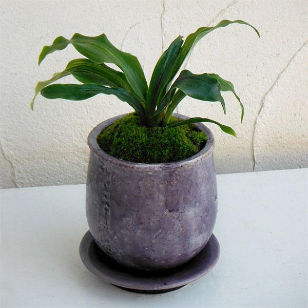 観葉植物/[縁起物・新居祝いやギフトに!]万年青 (おもと):出世実生 陶器鉢植え(皿付)/ステララウンド紫S