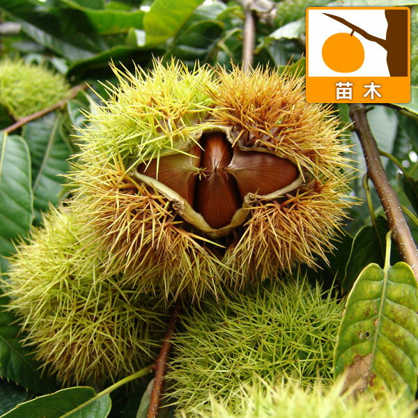 【ラッキーシール対応】果樹の苗/栗(クリ)2種受粉樹セット:ぽろたんと利平4〜5号ポット