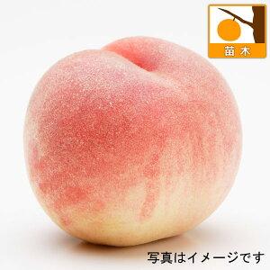 果樹の苗/モモ(桃):みさか白鳳4号ポット
