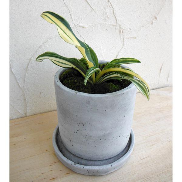 観葉植物/[縁起物・新居祝いやギフトに!]万年青 (おもと):出世実生 セメント鉢植え(皿付)/マルモSS