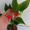 観葉植物/プチアンスリウム:ミニレッド3号鉢植え