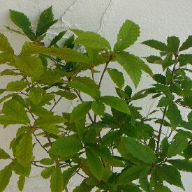 花木 庭木の苗/コナラ 3.5〜4号ポット