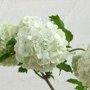 花木 庭木の苗/ビバーナム(西洋カンボク):スノーボール5号ポット