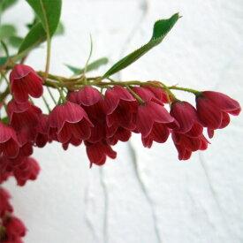 花木 庭木の苗/ドウダンツツジ:紅更紗(ベニサラサ)ドウダン4.5〜5号ポット