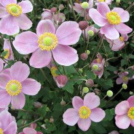 草花の苗/シュウメイギク(秋明菊):桃花一重3〜3.5号ポット2株セット