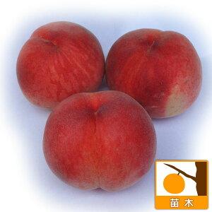 果樹の苗/モモ(桃):あかつき4〜5号ポット