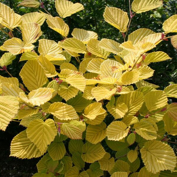 花木 庭木の苗/トサミズキ:スプリングゴールド3〜3.5号ポット