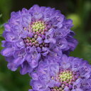 草花の苗/スカビオサ:オックスフォードブルー3〜3.5号ポット2株セット