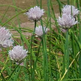 植物の苗/コンパニオンプランツ:チャイブ3号ポット4株セット