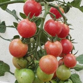 野菜の苗/トマト:秋トマト3号ポット