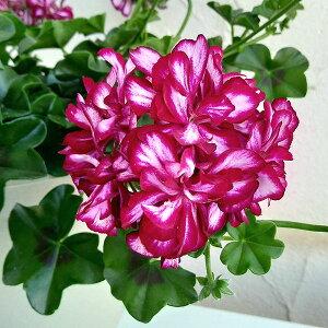 草花の苗/アイビーゼラニウム:メキシカントムキャット6号鉢植え