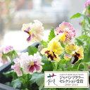 草花の苗/パンジー:ムーランフリルシフォン3.5号ポット3株セット