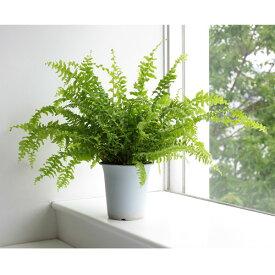 観葉植物/ネフロレピス・ツデー4号鉢植え