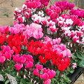 【ラッキーシール対応】草花の苗/ガーデンシクラメン(ミニシクラメン):花色ミックス3号ポット3株セット