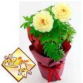 花木庭木の苗/お正月咲牡丹(ボタン):黄冠(オウカン)鉢植え