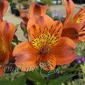 草花の苗/ガーデンアルストロメリア:オレンジパーフェクション3.5号ポット