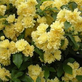 草花の苗/モッコウバラ:黄花八重咲き3号ポット*