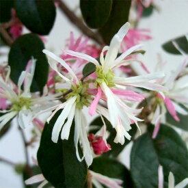 花木 庭木の苗/トキワマンサク:花吹雪(ハナフブキ)3〜3.5号ポット