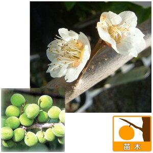 果樹の苗/ウメ(梅):しろかが(白加賀)4〜5号ポット