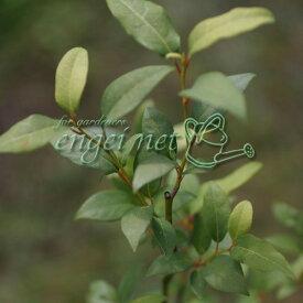 花木 庭木の苗/クロモジ 3.5号ポット