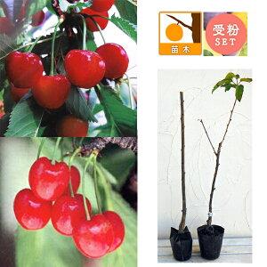 果樹の苗/サクランボ2種受粉樹セット:べにしゅうほう(紅秀峰)とナポレオン接木苗4〜5号ポット