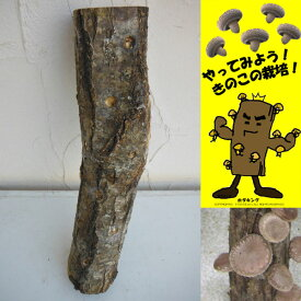 野菜の苗/ホダキング(しいたけホダ木オガ菌完熟45cm)1本