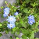 草花の苗/ブータンルリマツリ3.5号ポット 2株セット
