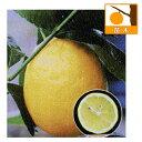 果樹の苗/レモン:ユーレカレモン4〜5号ポット