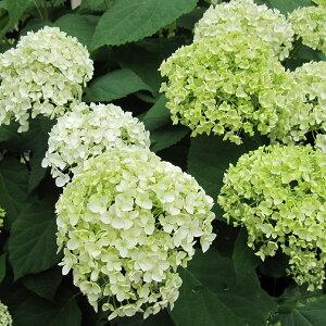 花木庭木の苗/アジサイ:アナベル4〜5号ポット
