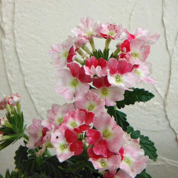 草花の苗/バーベナ:ピンクパフェ3.5号ポット2株セット