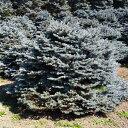 花木 庭木の苗/ピセアプンゲンス:モンゴメリー7号ポット樹高25〜30cm