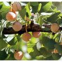果樹の苗/ギンナン(銀杏・イチョウ):オス木(オス)5号ポット