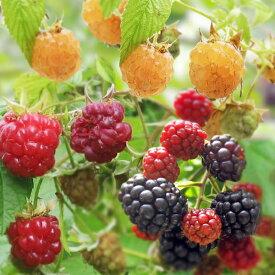果樹の苗/木いちごの苗人気3種セット(ボイソンベリー・インディアンサマー・ファールゴールド)