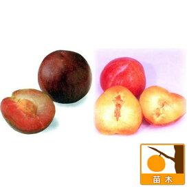 果樹の苗/スモモ(プラム)2種受粉樹セット:ソルダムとサンタローザ