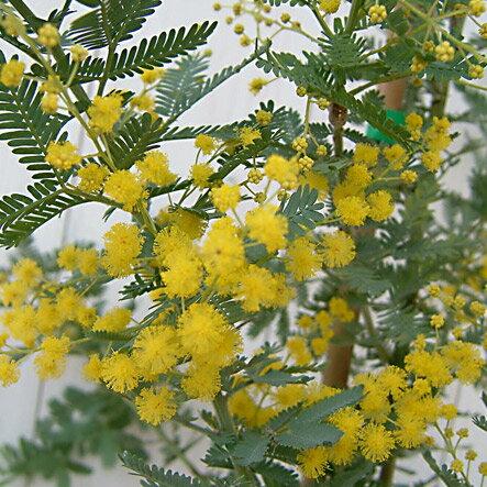 花木 庭木の苗/アカシア:ギンヨウアカシア3〜3.5号ポット