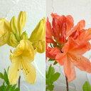 花木 庭木の苗/ツツジ:レンゲツツジ2品種セット(キレンゲとカバレンゲ)3.5号ポット